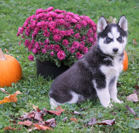 AKC Registered Siberian Husky For Sale Millersburg, OH Male - Panda