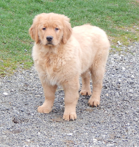 AKC Golden Retriever For Sale Holmesville, OH Male - Hank