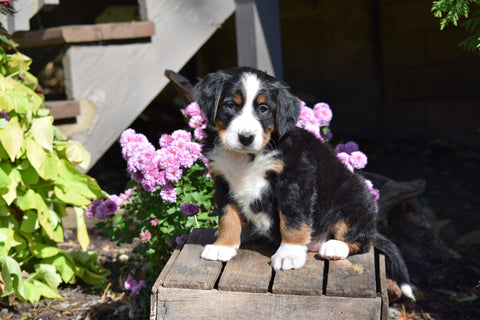 AKC Registered Bernese Mountain Puppy For Sale Millersburg Ohio Female Princess