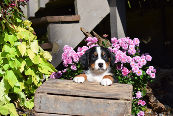 AKC Registered Bernese Mountain Puppy For Sale Millersburg Ohio Male Oreo