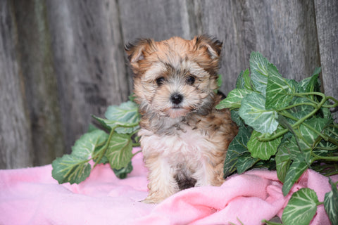 Morkie For Sale Female Mindy Millersburg, Ohio