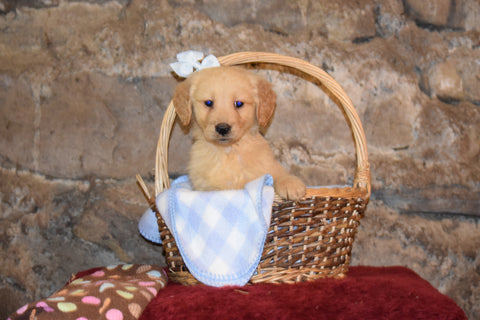 Bently Male AKC Registered Golden Retriever Puppy For Sale Butler Ohio