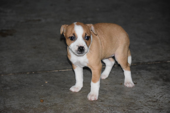 Australian Shepherd Pug Mix For Sale Fredericktown Ohio Female Suzy
