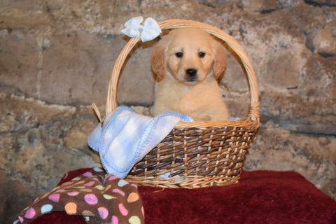 Mia Female AKC Registered Golden Retriever Puppy For Sale Butler Ohio