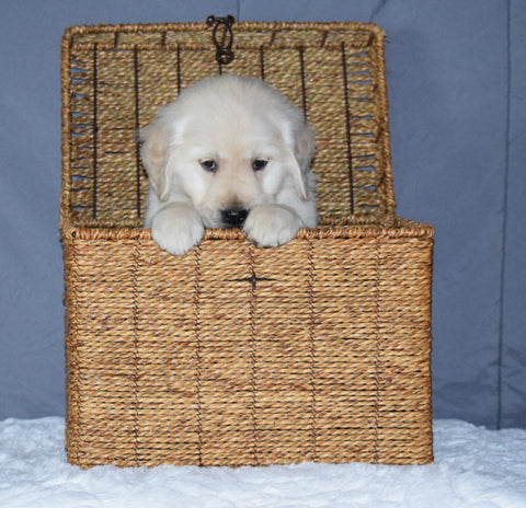 Akc Registered Golden Retriever Puppy For Sale Sugarcreek Ohio Male Maxx