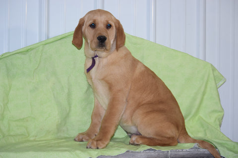 Golden Labrador Puppy For Sale Male Conner Apple Creek, Ohio