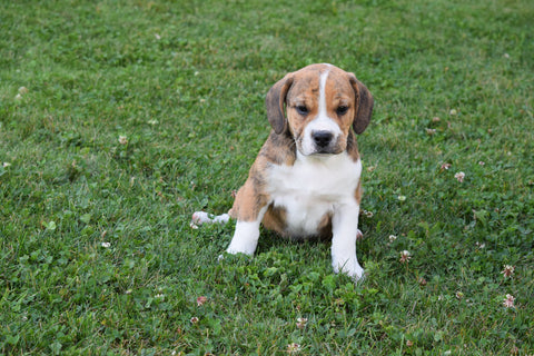 Cindy Beabull Puppy For Sale