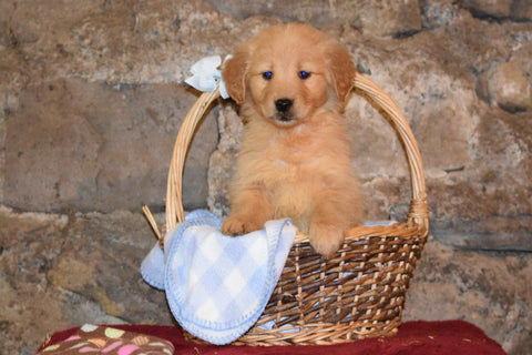 Penny Female AKC Registered Golden Retriever Puppy For Sale Butler Ohio