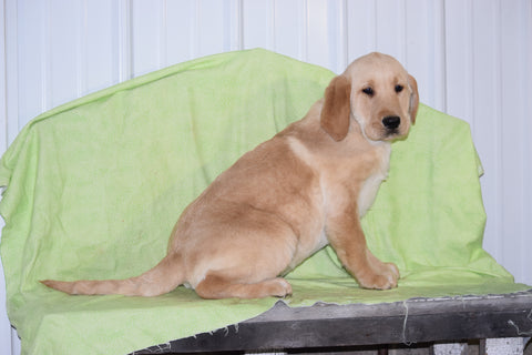 Golden Labrador Puppy For Sale Male Keith Apple Creek, Ohio