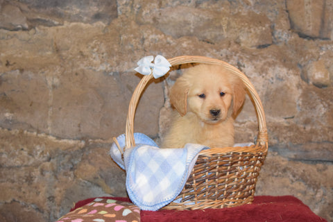 Sparky Male AKC Registered Golden Retriever Puppy For Sale Butler Ohio