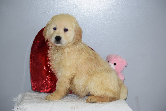 AKC Golden Retriever For Sale Fredericksburg Ohio Male Russel