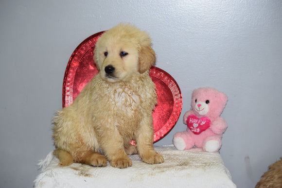 AKC Golden Retriever For Sale Fredericksburg Ohio Male Kypo