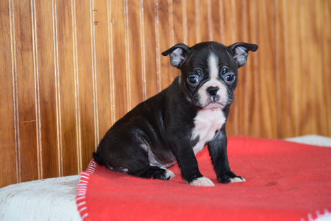 Akc Registered Boston Terrier Dundee Ohio Female Biscuit