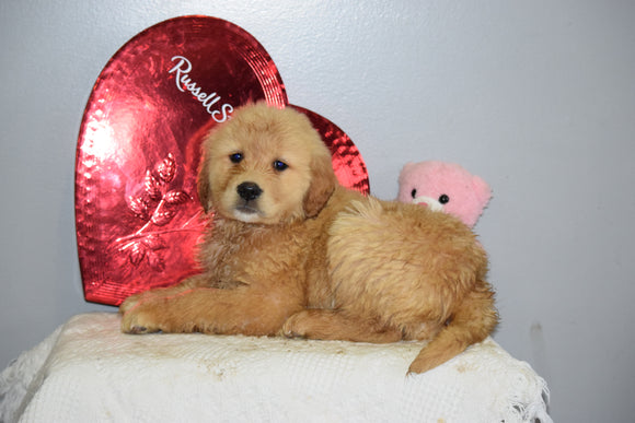 AKC Golden Retriever For Sale Fredericksburg Ohio Female Valentine