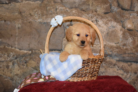 Lacy Female AKC Registered Golden Retriever Puppy For Sale Butler Ohio