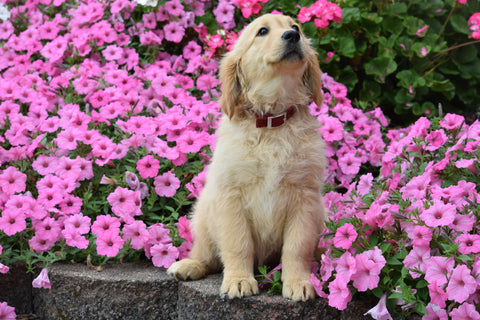 AKC Registered Golden Retriever Puppy Mable Female
