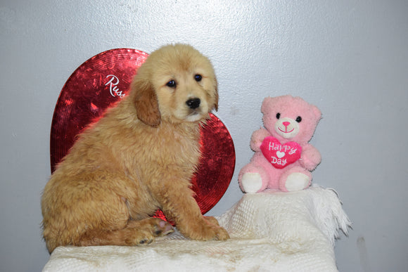 AKC Golden Retriever For Sale Fredericksburg Ohio Female Mariah