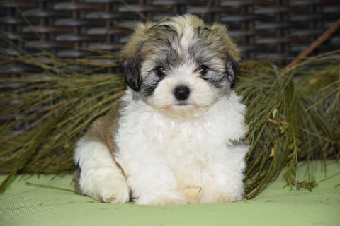 Zuchon For Sale Male Sambo Sugarcreek, Ohio Teddy Bear Puppy