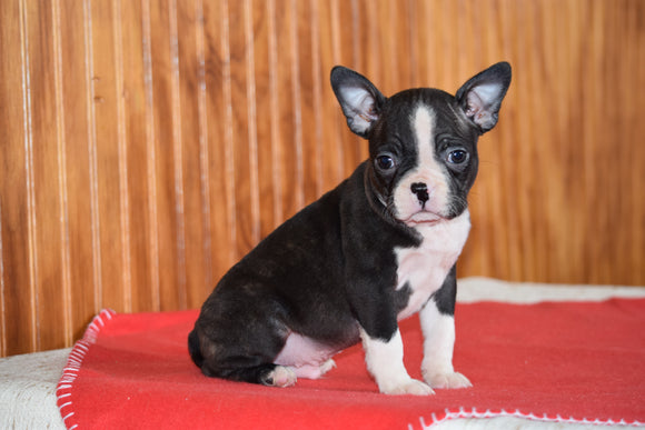 Akc Registered Boston Terrier Dundee Ohio Male Bones