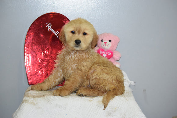 AKC Golden Retriever For Sale Fredericksburg Ohio Male Charley
