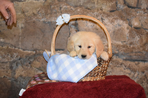 Ginger Female Purebred Golden Retriever Puppy For Sale Butler Ohio
