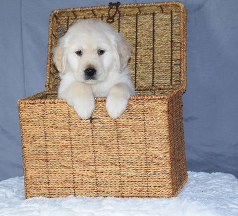 Akc Registered Golden Retriever Puppy For Sale Sugarcreek Ohio Male Buster
