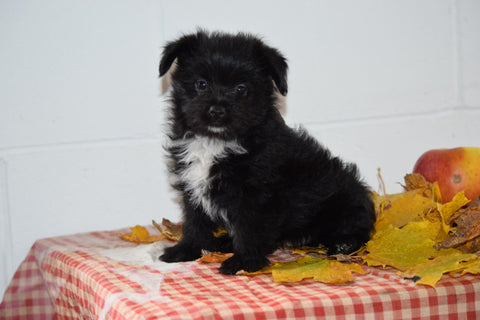 Male Parti Yorkie- Pom (Pomeranian) Puppy For Sale Fresno Ohio Leo