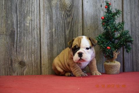 Beabull Puppy For Sale Fresno Ohio Female Cupcake