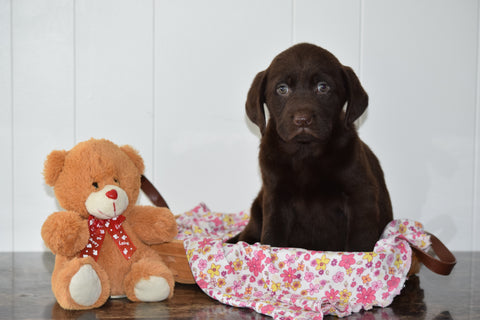 ACA Chocolate Labrador Retriever For Sale Millersburg Ohio Female Brandy