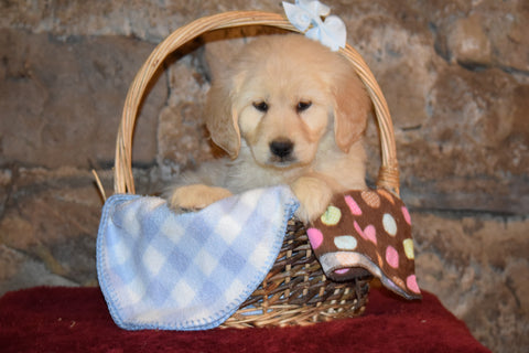 Lexi  Female Purebred Golden Retriever Puppy For Sale Butler Ohio