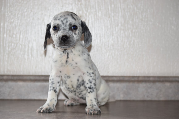 Dalmatian-Beagle Mix For Sale Fredericksburg Ohio Female Penny
