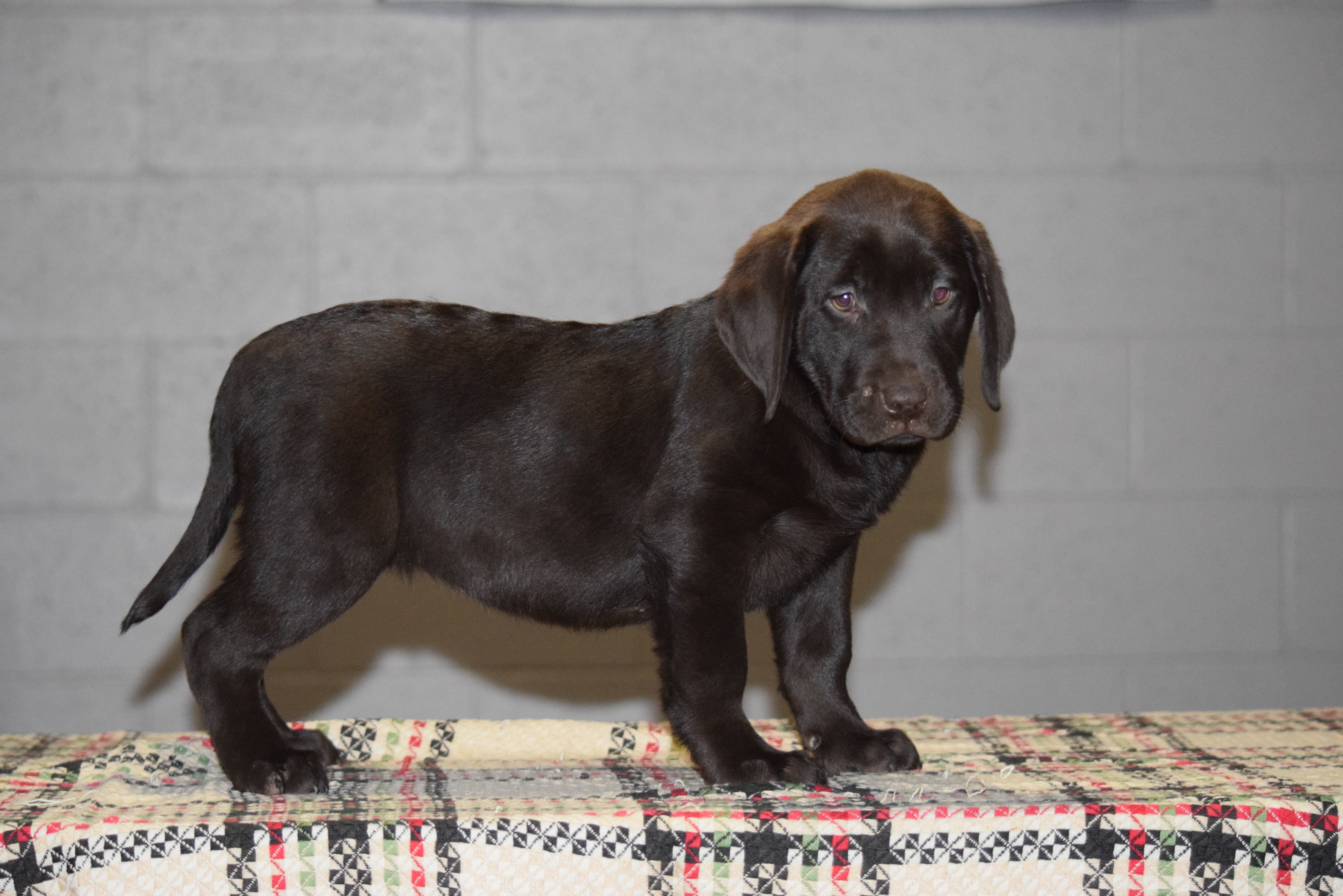 chocolate lab puppies ohio akc registered chocolate labrador retriever puppy for sale 4828