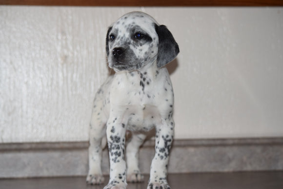 Dalmatian-Beagle Mix For Sale Fredericksburg Ohio Male Pepper