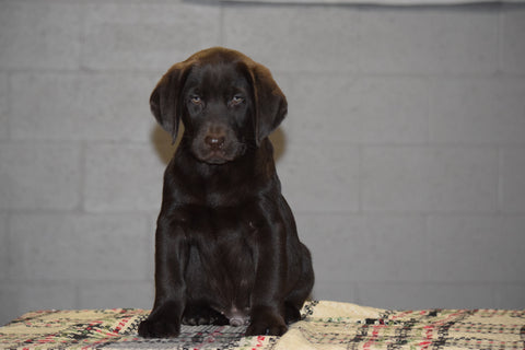 AKC Registered Chocolate Labrador Retriever Puppy For Sale Male Travis Sugarcreek, Ohio