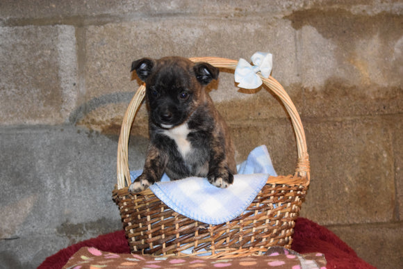 Tarzan Male Boston Terrier Norwegian Elkhound Mix Puppy For Sale Butler Ohio