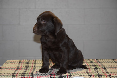 Akc Registered Chocolate Labrador Retriever Puppy For Sale Male Trex