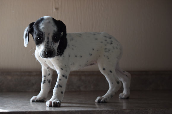 Dalmatian-Beagle Mix For Sale Fredericksburg Ohio Female Patches
