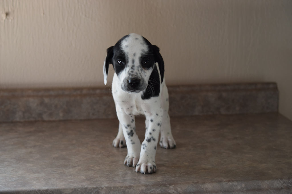Dalmatian Beagle Mix For Sale Fredericksburg Ohio Female Patches Ac Puppies Llc