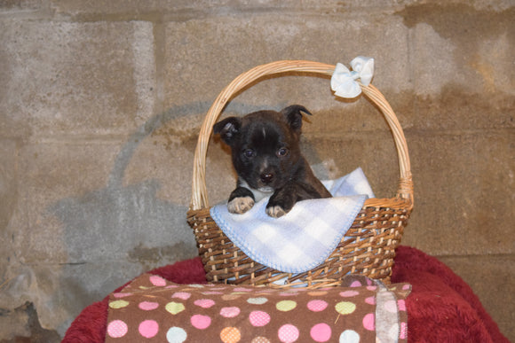 Tyler Male Boston Terrier Norwegian Elkhound Mix Puppy For Sale Butler Ohio