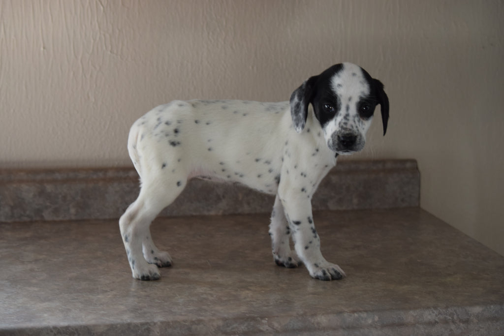 Dalmatian Beagle Mix For Sale Fredericksburg Ohio Female