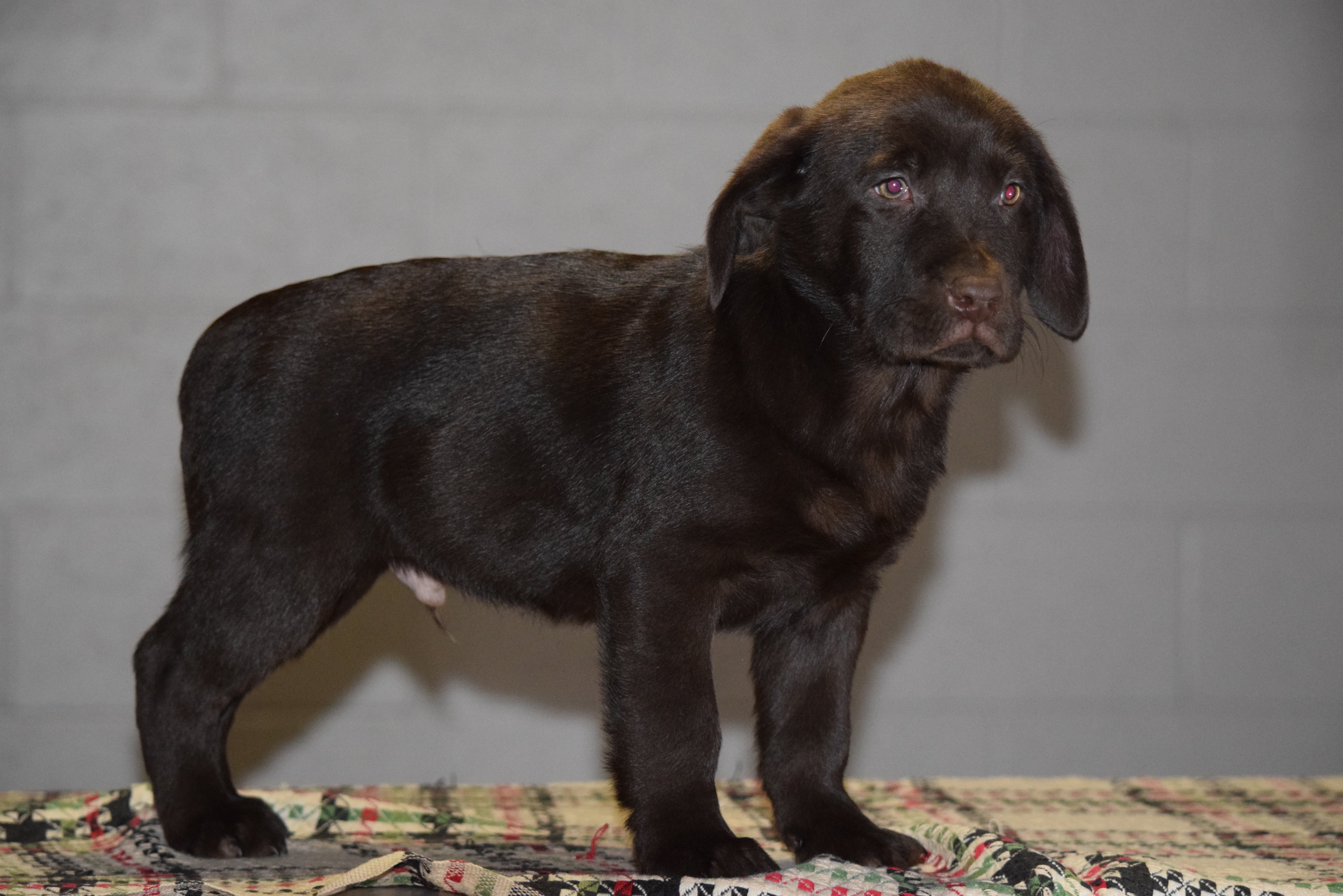 chocolate lab puppies ohio akc registered chocolate labrador retriever puppy for sale 7677