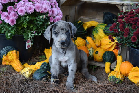 AKC Registered Great Dane For Sale Baltic Ohio Bailey Female