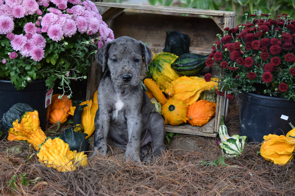 AKC Registered Great Dane For Sale Baltic Ohio Male Max