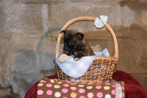 Tito Male Boston Terrier Norwegian Elkhound Mix Puppy For Sale Butler Ohio