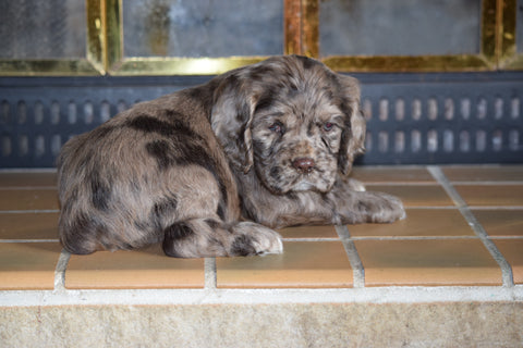 AKC Cocker Spaniel For Sale Fredericksburg Ohio Male Champion