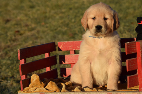 AKC Registered Golden Retriever Puppy For Sale Male Tommy Millersburg, Ohio