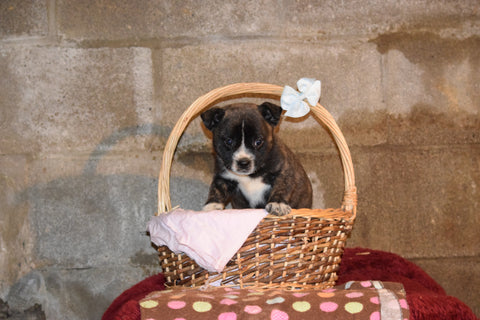 Terra Female Boston Terrier Norwegian Elkhound Mix Puppy For Sale Butler Ohio