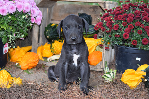 AKC Registered Great Dane For Sale Baltic Ohio Male Rocky