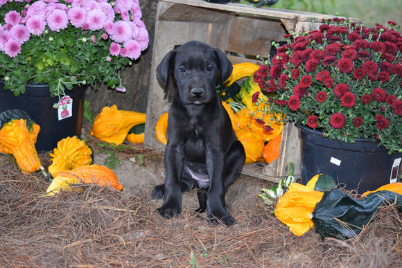 AKC Registered Great Dane For Sale Baltic Ohio Female Maggie