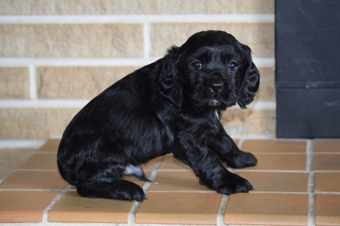 AKC Cocker Spaniel For Sale Fredericksburg Ohio Male Buster